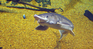 Lawsuit Launched Over Feds' Failure to Examine Yorktown Oil Train Terminal's Threat to Rare Sturgeon, Sea Turtles